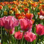 tulipes(1)